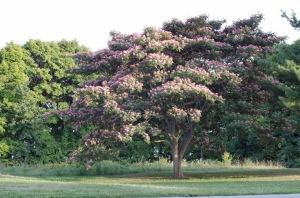 The mimosa tree
